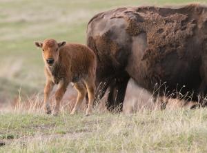 Bison Range calf 1