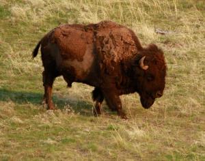 Bison Range1