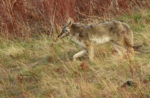 Coyote at Bison Range 2