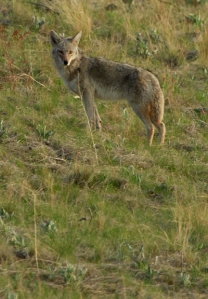 Coyote at Bison Range1